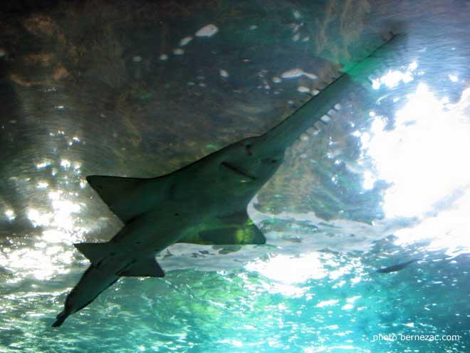 Aquarium de la rochelle poisson scie picture to pin on for Poisson de bassin a donner
